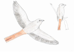 RARITY ALERT: Isabelline Shrike (Lanius isabellinus) in Attica!