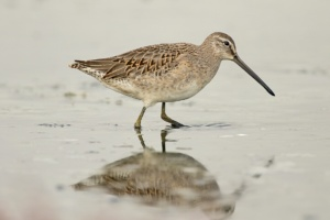 MEGA RARITY ALERT: Long-billed Dowitcher (Limnodromus scolopaceus) at Axios Delta!